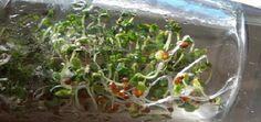 Germinado de brocoli: cómo hacer tus brotes de brócoli