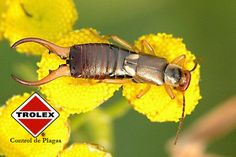 Control de Plagas, Tijerillas - Trolex  Estos son insectos con mala fama de hecho en inglés se les conoce con el nombre de: Earwigs, que viene de la creencia de que estas se introducen en los oídos de las personas, mientras duermen. Lo cuál no está comprobado.  Las tijerillas tienen cuerpos largos y son de aspecto parecido a los escarabajos, incluso pueden confundirse con las cucarachas, con la diferencia que poseen un par de pinzas que sobresalen de su parte traseran.
