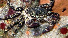 Pachygrapsus marmoratus - granchio corridore Granchio di scogliera, molto vivace e attivo. Sempre in cerca di detriti e alghe da eliminare. http://www.marineaquariumdesign.it