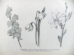 Pen and ink botanical illustration