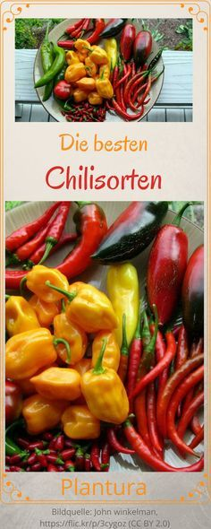 Die besten Chilisorten von mild & fruchtig bis feurig-scharf: neben Jalapeno, Tabasco, Cayenne und Habanero gibt es noch mehr Chili Sorten mehr zu entdecken!