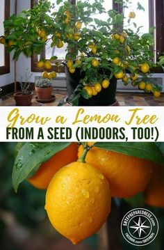 How to Grow a Citrus Tree Indoors
