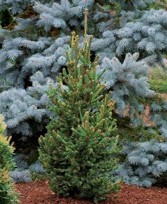 'Hillside Upright' spruce Name:Picea abies 'Hillside Upright' Zones: 3 to 8 Size: 10 to 12 feet tall and 6 to 8 feet wide Conditions: Full sun; Shrubs For Landscaping, Garden Shrubs, Garden Trees, Trees To Plant, Landscaping Ideas, Garden Plants, Full Sun Shrubs, Bushes And Shrubs, Plants That Like Shade