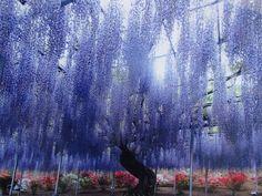 栃木県の足利フラワーパークにある「大藤」をご存知ですか?樹齢150年におよぶ藤が、なんと600畳の敷地にぎっしりと咲き誇ります。80mも続く絶景「白藤のトンネル」、日本で唯一ここでしか見られない「」人生で一度はくぐってみたいです。