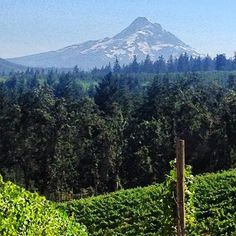 Stunning view of Mt. Hood from Phelps Creek Vineyards in Oregon.