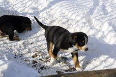 I love any dog that looks like Emmett! Dogs, Animals, Bestfriends, Entlebucher Mountain Dog, Pet Dogs, Animales, Animaux, Doggies, Animal