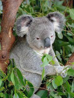 Koala by RGB12 - New South Wales, Australia