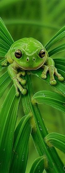 Mmm ahh went the little green frog one day.mmm ahh went the little green frog! Beautiful Creatures, Animals Beautiful, Cute Animals, Happy Animals, Green Animals, Beautiful Toes, Green Tree Frog, Frog And Toad, Tree Frogs