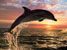 Dolphin Sunset #animallovers #dolphins #dolphinfans #sealife #seamammals