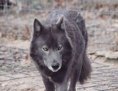 BEAUTIFUL WOLF <3