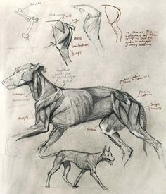 Leonardo da Vinci Dog Anatomy, Human Anatomy Drawing, Human Figure Drawing, Anatomy Art, Animal Anatomy, Animal Sketches, Animal Drawings, My Drawings, Animal Illustrations