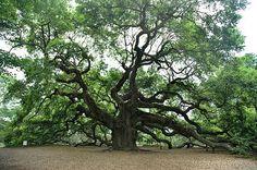 Angel Oak on Johns Island, South Carolina