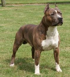 Uplifting So You Want A American Pit Bull Terrier Ideas. Fabulous So You Want A American Pit Bull Terrier Ideas. American Staffordshire Terriers, American Pit Bull Terrier, American Pitbull, Bull Terrier Bebe, Pitbull Terrier, Chien Bull Terrier, Amstaff Terrier, Pit Bull Dogs, Wild Life