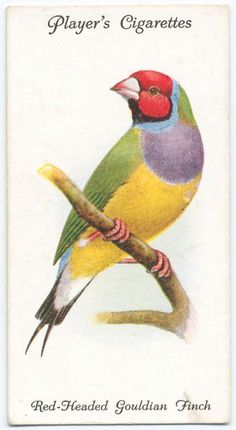 Red-headed Gouldian Finch. (ca. 1903-1917)