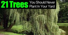 21 Trees You Should Never Plant In Your Yard | Herbs and Oils Hub