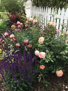David Austin Rose, Lady of Shalott, Salvia Caradonna and Iris Pass the Wine