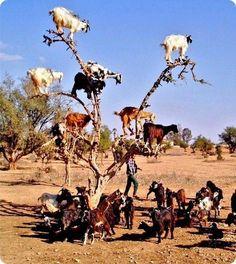 Goats rule: Exhibit A.