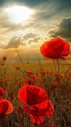 The Poppy Field photography flowers poppy poppies Wild Flowers, Beautiful Flowers, Poppy Flowers, Meadow Flowers, Flowers Garden, All Nature, Jolie Photo, Pretty Pictures, Beautiful Images