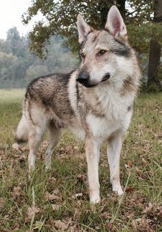 Beautiful Dogs, Animals Beautiful, Cute Animals, Big Dogs, I Love Dogs, Dog Emoji, Czechoslovakian Wolfdog, Wolf Husky, Dog Suit