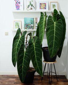 The Melano twins! . . . . #hofmannjournal #lifeisgoodwithplants #philodendron #philodendronmelanochrysum #rareplants #urbanjungle…