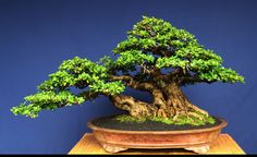 A Flowering Bonsai, a Pot that Some Would Die For & an Extraordinary Rock | Bonsai Bark