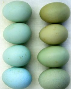 """Araucana eggs &  probably those crossed from a blue egger & a Marans = """"Olive Eggers"""" #chickens"""