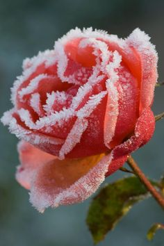 Winter rose: it will never happen in my garden but its nice to look at