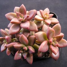 Graptoveria gilva This pretty species has golden pink leaves densely packed along short stems. Great for hanging baskets or spill-over garden plantings. Succulents In Containers, Cacti And Succulents, Planting Succulents, Succulent Bonsai, Succulent Gardening, Organic Gardening, Echeveria, Buy Succulents Online, Cactus Plante