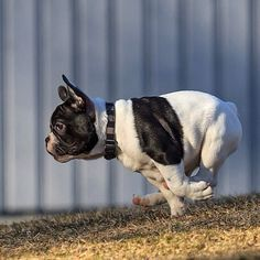 A Galloping Koala or just a typical French Bulldog❤️ Little Dogs, Big Dogs, New Puppy, Puppy Love, Boston Terrier Love, Boston Terriers, Dog Pictures, Cute Pictures, Baby Animals