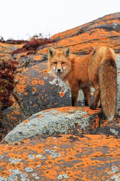 Red fox with incredible camouflage. by Jason Savage.