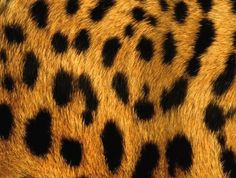 Leopard II - Nokia C3 Leopard Print Wallpaper, Wallpapers, Templates, Wallpaper, Cheetah Wallpaper, Backgrounds, Leopard Print Background