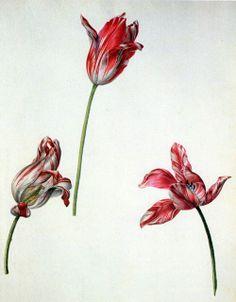 Picturing Plants and Flowers: Pieter van Koowenhourn: Broken Tulips