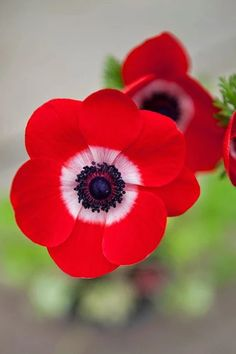 Each petal sings for me Anemone coronaria De Caen. The bold colours of this anemone are absolutely fabulous Aquilegia 'Winky Dou. Types Of Flowers, Pretty Flowers, Red Flowers, Colorful Flowers, Spring Flowers, Most Beautiful Flowers, Exotic Flowers, Simply Beautiful, Anemone Flower