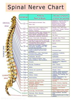 Spinal Nerves Anatomy, Nerve Anatomy, Brain Anatomy, Human Body Anatomy, Human Anatomy And Physiology, Medical Anatomy, Muscle Anatomy, Nervous System Anatomy, Spine Health
