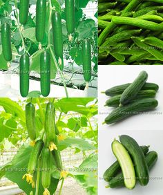 [Visit to Buy] Promotion! 20Pcs Cucumber Seed Courtyard Garden Balcony Potted Bonsai Vegetable Seeds Cucumis Seed #Advertisement