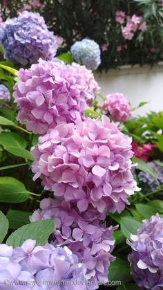 Hydrangeas 6 by SayuriMVRomei on DeviantArt Beautiful Flowers Garden, Beautiful Flower Arrangements, Pretty Flowers, Beautiful Gardens, Peonies And Hydrangeas, Hydrangea Flower, Flower Pots, Blooming Flowers, Spring Flowers
