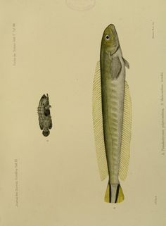 Pseudochromis polyacanthus, Malacanthus hoedtii. Journal des Museum Godeffroy. - Biodiversity Heritage Library