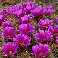Desert Flowers by Corey Leopold, via Flickr Brewster County Texas flowers,cactus,chihuahua,yellow <>><>