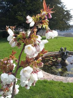 A cherry in the gardens of Sharpham House on the Sharpham Estate, Spring 2015.  Pin us at www.pinterest.com/sharphamtrust Like Sharpham Trust at www.facebook.com/SharphamTrust Follow us @SharphamTrust Visit us at www.sharphamtrust.org