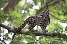 #Repost  @sanctuaryasia Few people have ever seen a #clouded #leopard in the wild. In #India it is known to be found only in the forests of the #Northeast. It is hard to determine its exact number as it is known to be so elusive that it doesnt even leave behind #scat or scratch marks in its territory like other big cats  but as with other #wildlife its population is decreasing with the destruction of its #forests. The clouded leopard is classified as Vulnerable on the #IUCN Red List and is…
