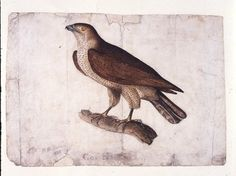 "'Gos Hawk' by Branwell. Signed and dated 1833, this watercolour goshawk was copied from Thomas Bewick's ""A History of British Birds."