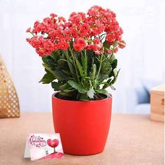 A pretty pack of fragrant flowers for gifting your loved ones on special occasions! Gift a Kalanchoe plant or Window's thrill. These plants have proven health benefits, reduce airborne dust levels and cleanses air around, Kalanchoe species have been used to treat ailments such as infections, rheumatism, and inflammation. You can easily plant Kalanchoe outdoors or indoors in pots and containers. Red Plants, Fruit Plants, Plastic Planter, Plastic Pots, Red Flowers, Beautiful Flowers, Planter Accessories, Save Mother Earth, Happy Valentines Day Card