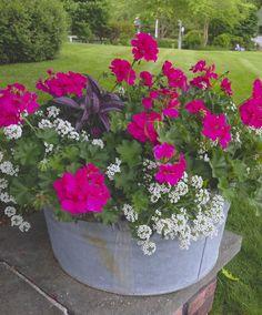 Bucket Gardening Tips geranium,persian shield,alyssum Garden Yard Ideas, Lawn And Garden, Garden Projects, Garden Landscaping, Patio Ideas, Landscaping Ideas, Fence Garden, Garden Decorations, Easy Garden