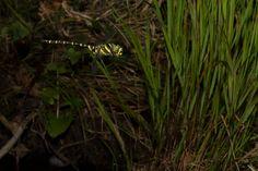 Golden-ringed Dragonfly - Cordulegaster boltonii - in flight
