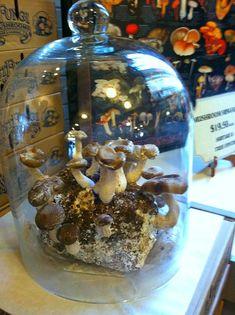 Mushroom Spores, Mushroom Cultivation, Edible Mushrooms, Stuffed Mushrooms, Growing Mushrooms Indoors, Mushroom Grow Kit, Mushroom Vegetable, Organic Protein, Grow Organic