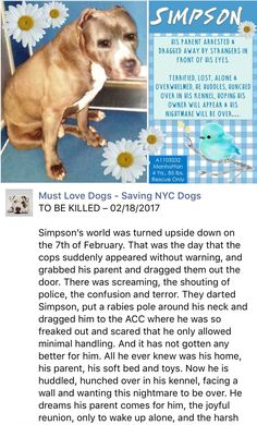 MURDERED 2/18/17 I'M SPEECHLESS AND DEVASTATED NO SECOND CHANCE GIVEN THIS POOR FRIEND WHO'S WORLD FELL TOTALLY APART /ij Manhattan Center SIMPSON – A1103232 MALE, GRAY, PIT BULL MIX, 4 yrs STRAY – ONHOLDHERE, HOLD FOR ARRESTED Reason OWN ARREST Intake condition EXAM REQ Intake Date 02/07/2017, http://nycdogs.urgentpodr.org/simpson-a1103232/