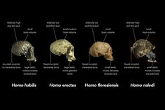 A new fossil human ancestor has made its way into the media spotlight, and it's...