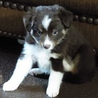 My Toy Aussie Com Toy Australian Shepherd Breeder In Michigan