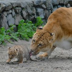 What do you get when you cross a lion and a liger? Only about the cutest animal on Earth — a liliger. Last year,the first (adorable) liliger was born in a zoo in Novosibirsk, Russia.