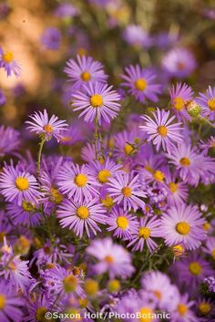 Native flower, Purple Aster (hoary tansyaster), Machaeranthera canescens in Xeriscape New Mexico garden